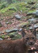 Projekt Trans - Lynx